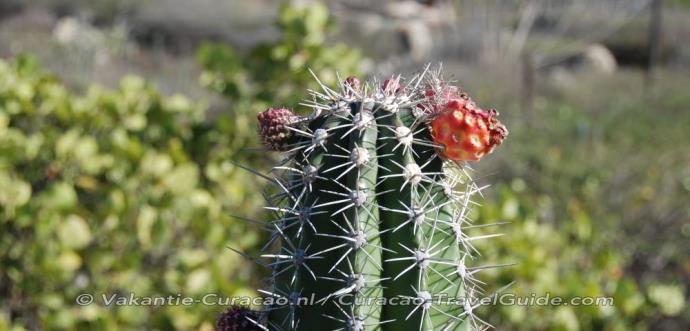 Cactus met een knoppen erin