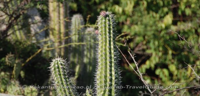 Cactus Kadushi