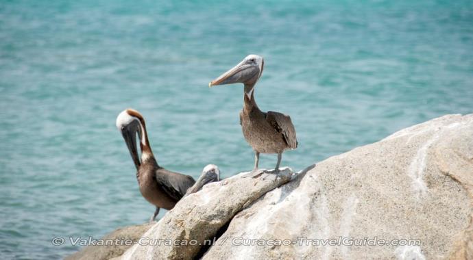 3 pelikanen op een rots